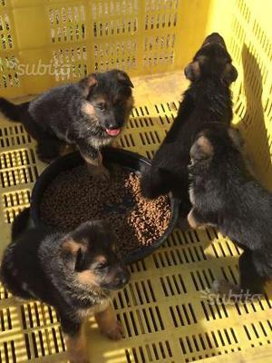 Cuccioli'i pastore tedesco con pedigree