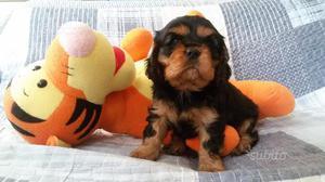 Cucciolo cavalier king con pedigree ENCI