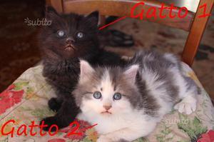 Gattini di lana d'Angora svezzati come da foto