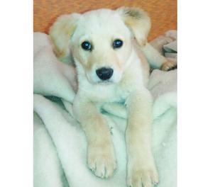 LILLO splendido cucciolo simil Labrador di 2 mesi e mezzo
