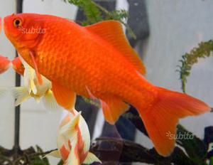 Libri di pesci rossi ferrara posot class for Pesci rossi prezzo