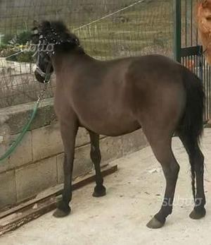 Pony femmina