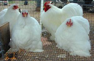 Pulcini gallo gallina coccincina nana