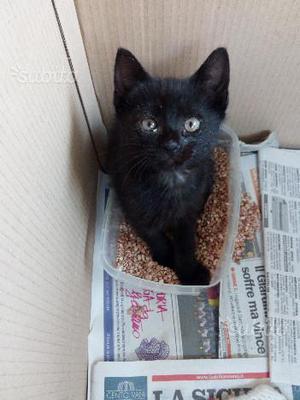 Regalo gattina di quasi due mesi