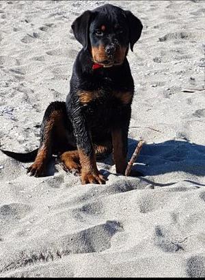 Rottweiler Cucciolo di 5 mesi