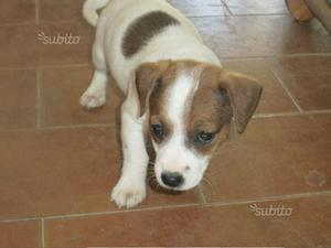 Strepitosi jack russell