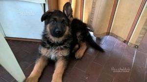 Ultima cucciola di pastore tedesco