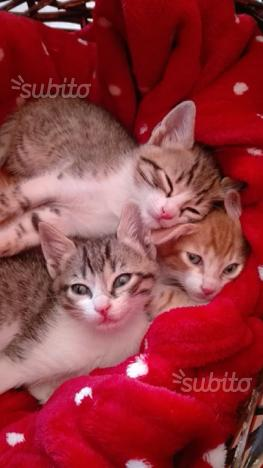 cuccioli gattini