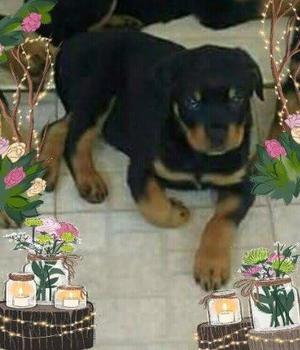 ROTTWEILER puro ultimo cucciolo