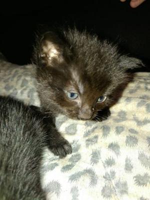 Gattino maschio regalo