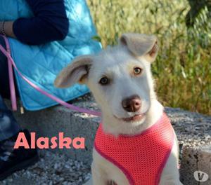 sorridente cucciola alaska aspetta una famiglia
