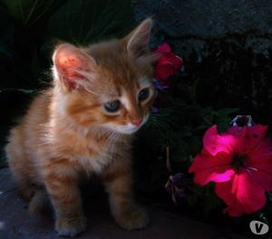 Cerco gattina meticcia rossa