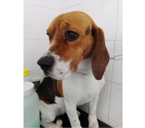 KIRA, beagle 2 anni, la sua famiglia non può più gestirla,
