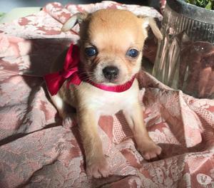 Chihuahua cuccioli con pedigree