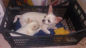 Chihuahua a pelo lungo