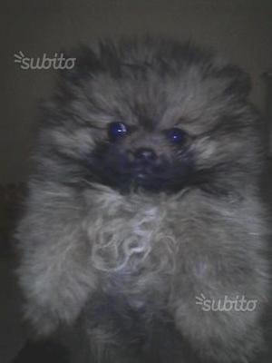 Cuccioli di volpino spitz
