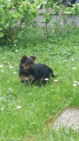 Ultima cucciola di Yorkshire circa 4 mesi
