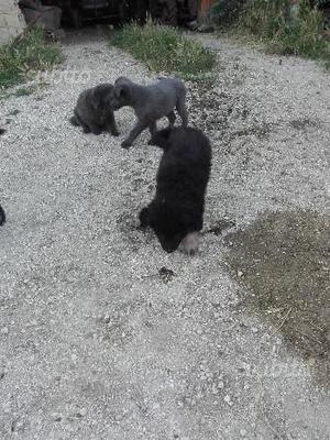 Bellisimi cuccioli di border collie e pastore belg