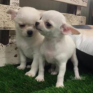 Chihuahua cuccioli capriccididama