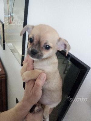 Chihuahua femmina toy sabbia 60 gg