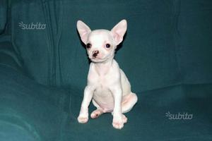 Chihuahua toy, cucciolo maschio con pedigree