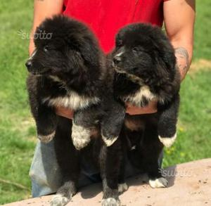 Cuccioli Pastore del Caucaso