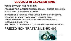 Cuccioli cavalier king tricolore