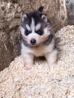 Cuccioli di Siberian Husky con pedigree