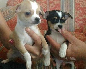 Cuccioli di chihuahua due maschi a pelo corto