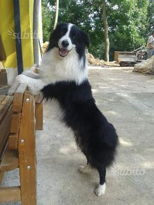 Disponibile cucciolo di border collie con pedigree