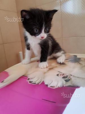 Gattini incrocio Siamese
