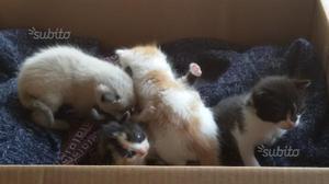 Regalo gattini di quattro settimane