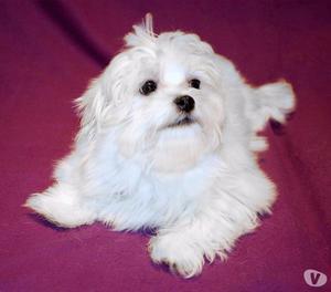 Morkie, cucciolo maschio di taglia molto piccola