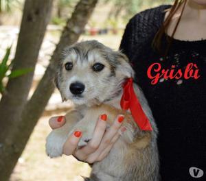 cuccioletto Grisbì, 3 mesi, futura taglia medio piccola