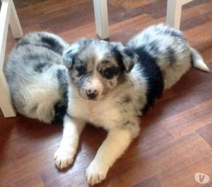 Border Collie blu merle, con Pedigree