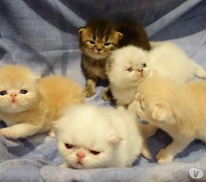 Cucciolata di gatti persiani ipertipici e color point.