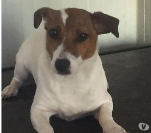 Hola: splendida jack russel terrier da adottare !!!!