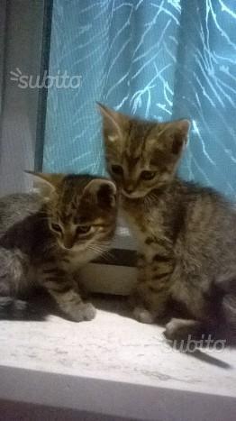 2 gattini europei