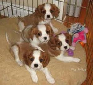 Cavalier king cuccioli di 60 giorni