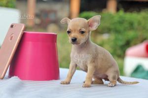 Cucciola di Chihuahua Fulva