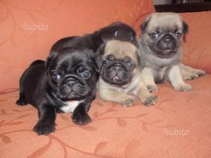 Cuccioli di Carlino neri e beige