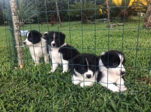 Cuccioli di border collie con pedegree