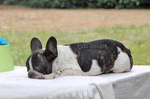 Cucciolo di Bouledogue francese Bianco e Nero