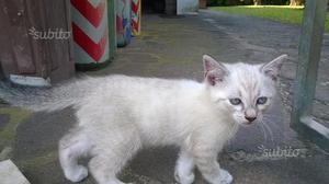 Gattino stupendo bianco/grigio con occhi celesti