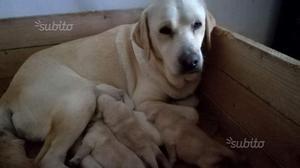 Labrador miele con pedigree Enci