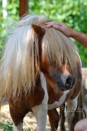 Pony coppia maschio e femmina