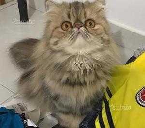 Regalo gattina persiana