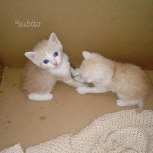 Regalo gattini subito disponibili