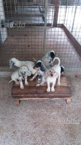 Cinque cuccioli di setter