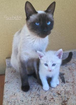Cucciolo gattino simil Siamese